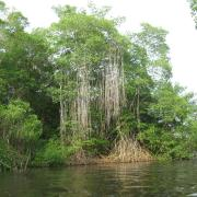 Mangrove, Caroni Bird Sanctuary