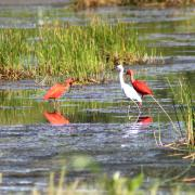 Egret and Scarlet Ibis, Caroni Bird Sanctuary, Tourism