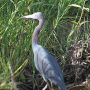 Heron, Caroni Bird Sanctuary, Tourism